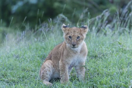 Lion cub sitting alone, looking bewildered and waiting for mother lioness, in lush green grass. Masai Mara, Kenya, Africa