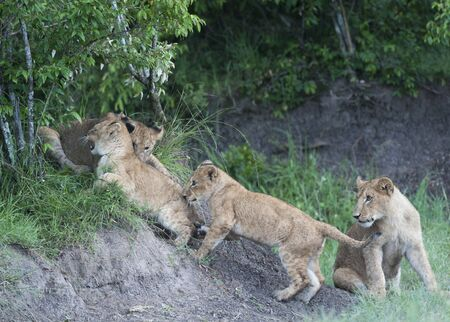 Group of lion cubs trying to climb rocks, with lush green background. Masai Mara, Kenya, Africa