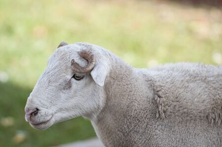 Close up of Dorper white headed ram looking to left  and curled horn very visible Stock Photo