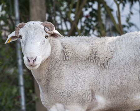 Close up of Dorper white headed ram looking at camera  with curled horns very visible and green blurred background