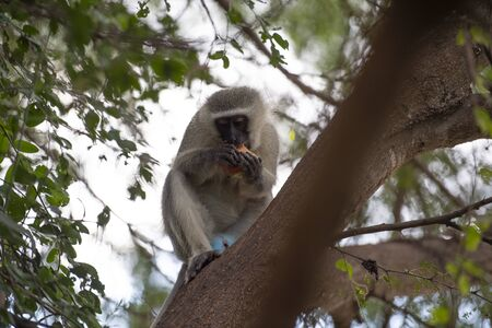 Vervet Monkey or Old World Monkey, Chlorocebus pygerythrus , sitting intree, eating red apple, surrounded by green leaves on brances. Kruger National Park, South Africa Stock Photo
