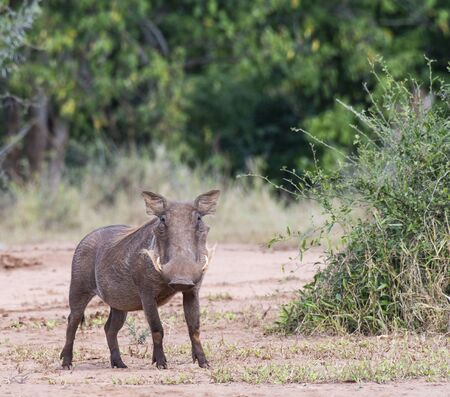 Warthog Phacochoerus africanus , standing upright looking at camera with tusks visible. Kruger National Park, South Africa Stock Photo