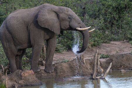 African Elephant, Loxodonta africana , looking right and using trunk to splash water. Kruger National Park, South Africa Stock Photo