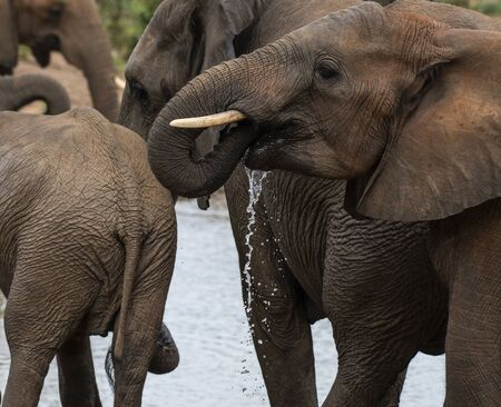 Elephant, Loxodonta africana , looking to left, trunk in mouth and with water dripping from mouth. Kruger National Park, South Africa Stock Photo