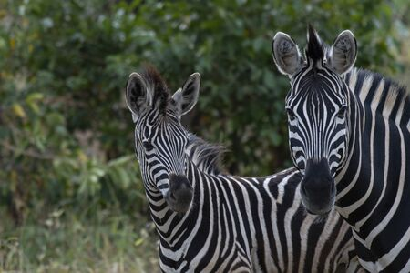 Two Zebra, Equus looking at camera, with head slightly turned to right. Kruger National Park, South Africa