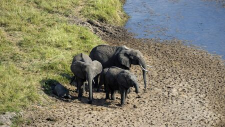 Baby Elephant, ( loxodonta africana ), shaded by elephant family as he sleeps in shade, with blue water and green grass in background, on sandy river bed. Tanangire National Park. Tanzania, Africa