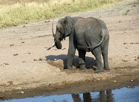 Young elephant playing on sandy river bed, with trunk in air spraying water, with back to camera. Tarangire National Park. Tanzania, Africa