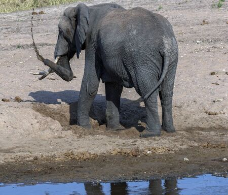 Young elephant playing on sandy river bed, digging for cool water and spashing mud over himself, with back to camera. Tarangire National Park. Tanzania, Africa