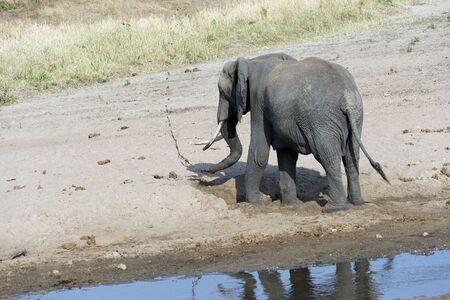 Young elephant playing on sandy river bed, digging for cool water with mud flying in the air, with back to camera. Tarangire National Park. Tanzania, Africa