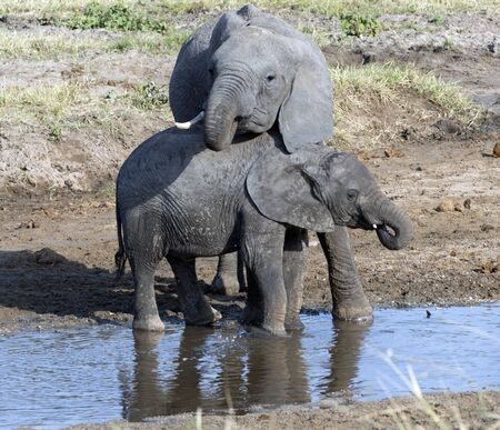 Two baby elephants standing in water, one leaning his head on the back of the other one. Tarangire National Park. Tanzania, Africa