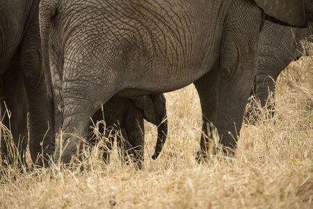Baby elephant hiding underneath mother elephant as they walk across dry savahanna. Tarangire National Park. Tanzania, Africa