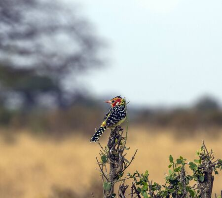 Single Red and Yellow Barbet, (Trachyphonus erythrocephalus), sitting on small bush, looking left, with prominent yellow and red feathers, and specked black and white feathers on back.Tarangire National Park, Tanzania, Africa Stock Photo