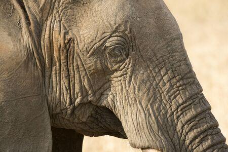 Elephant head, close up, showing long lashes with sand cover eye lashes. Tarangire National Park, Tanzania, Africa Stock Photo