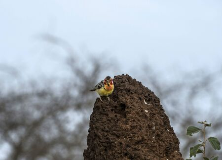 Single Red and Yellow Barbet, (Trachyphonus erythrocephalus), sitting on brown ant hill, looking at camera, with prominent yellow and red feathers. Tarangire National Park, Tanzania, Africa