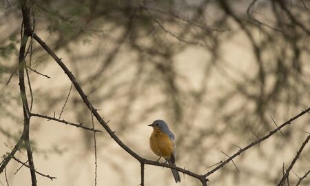 Chorister Robin Chat, ( Cossypha dichroa ), perched on tree branch looking left, orange breast very visible. Tarangire National Park, Tanzania, Africa