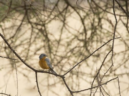 Chorister Robin Chat, ( Cossypha dichroa ), perched on tree branch looking right, orange brea