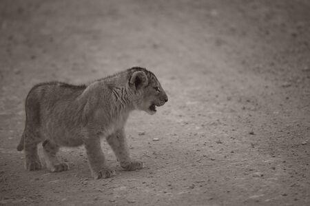 Sepia Tone image of distressed lion cub alone on dirt road. Tarangire National Park, Tanzania, Africa Stock Photo