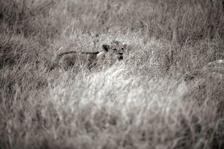 Lion cub lost in dry savannah, with blurred dry grass in foreground. Tarangire National Park, Tanzania, Africa