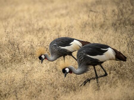 Pair of Grey crowned crane, (Balearica regulorum) head down as it feeds in dry savannah, Tarangire National Park, Tanzania, Africa