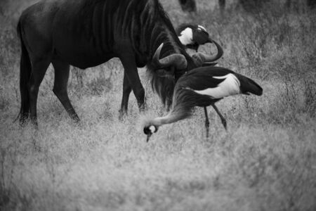 Black and white image of widebeast, head down as it feeds in dry savannah, with blurred crane in background. Tarangire National Park, Tanzania, Africa