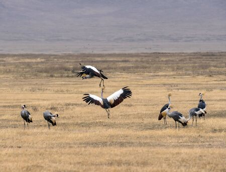 Pair of Grey crowned crane, (Balearica regulorum) fighting in mid air over a dry savanna, and other Grey Cranes in foreground. Tarangire National Park, Tanzania, Africa Stock Photo