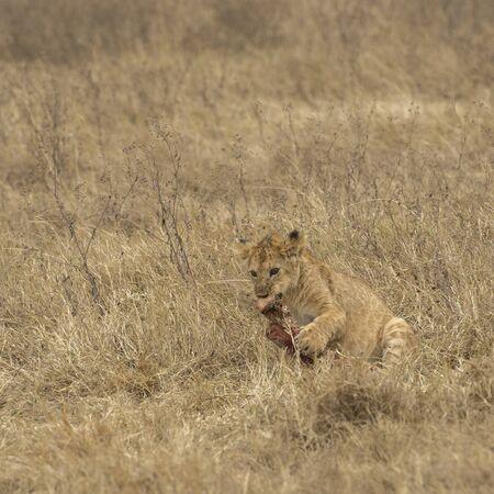 Lion Cub feeding on bone after a kill, Tarangire National Park, Tanzania