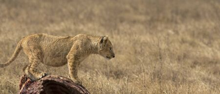 Lion cub, standing upright on carcass of wildebeest looking right, reading to jump. Tarangire National Park, Tanzania, Africa