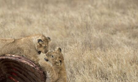 Lion cubs, play fighting on carcass of wildebeest,with teeth bared ready to bite . Tarangire National Park, Tanzania, Africa
