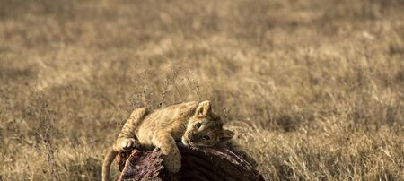 Lion cub, resting on carcass of wildebeest after long play session with other cubs, eyes caught in evening sun as he looks left. Tarangire National Park, Tanzania, Africa