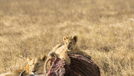 Lion cub, resting on carcass of wildebeest, eyes caught in evening sun as he looks left. Head up alert with lioness in background. Tarangire National Park, Tanzania, Africa