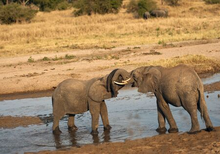 Two baby elephants standing in water and play fighting during sunset, with ivory tusks locked, with trunks resting together on the other's head. Tarangire National Park, Tanzania, Africa