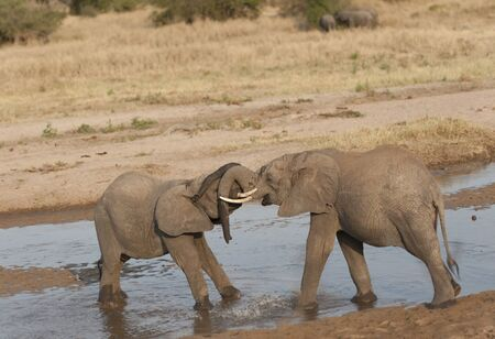 Two baby elephants standing in water play fighting and their trunks tangled up Tarangire National Park. Tanzania, Africa