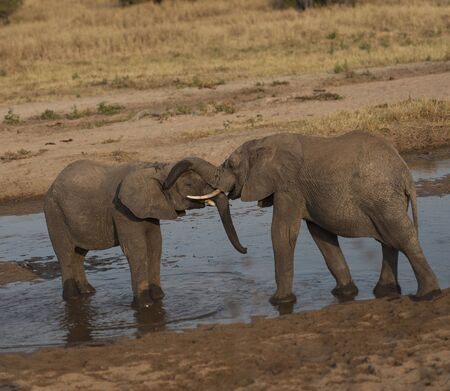 Two baby elephants standing in water and play fighting during sunset, with ivory tusks locked, one with trunk resting on the other's head. Tarangire National Park, Tanzania, Africa