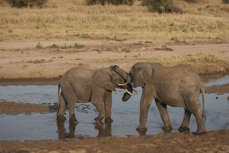 Two baby elephants standing in water and play fighting during sunset, Ivory tusks visible. Tarangire National Park, Tanzania, Africa