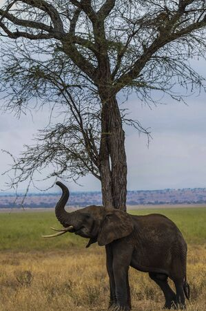 Elephant leaning against tree and scratching himself. Trunk held high and ivory tusks showing. Green grass and blue sky in background. Tarangire National Park, Tanzania, Africa