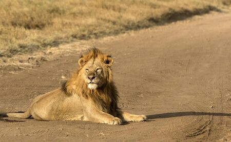 Majestic male lion sitting in road, in early morning sunshine, looking left. Tarangire National Park, Tanzania, Africa