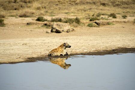 Spotted hyena, ( Crocuta crocuta ) sitting in water with head up looking right and mirror reflection in water. Tarangire National Park, Tanzania, Africa
