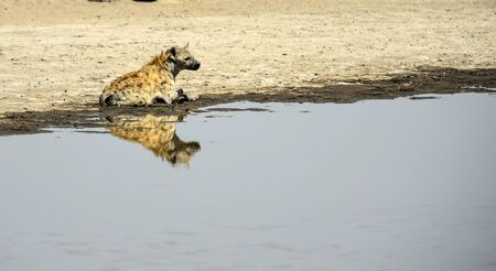 Spotted hyena, ( Crocuta crocuta ) isolated and sitting in water looking right and mirror reflection in water. Tarangire National Park, Tanzania, Africa Stock Photo