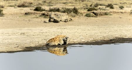 Spotted hyena, ( Crocuta crocuta ) sitting in water resting his head on his paws looking down and mirror reflection in water. Tarangire National Park, Tanzania, Africa