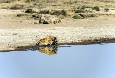 Spotted hyena, ( Crocuta crocuta ) sitting and staring at his reflection in shallow water. Tarangire National Park, Tanzania, Africa