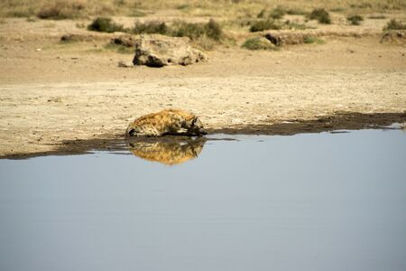 Spotted hyena, ( Crocuta crocuta ) sitting in water and drinking wirh teeth showing, looking right and mirror reflection in water. Tarangire National Park, Tanzania, Africa