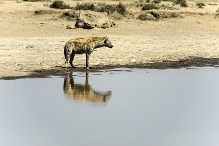 Spotted hyena, ( Crocuta crocuta ) standing in water looking right and mirror reflection in water. Tarangire National Park, Tanzania, Africa Stock Photo