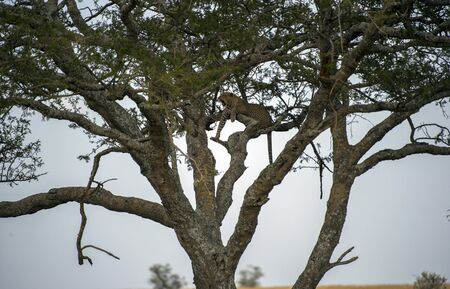 Male Leopard ( Panthera pardus ), high up in tree, looking left, with mouth wide open in growl. Tarangire National Park, Tanzania, Africa