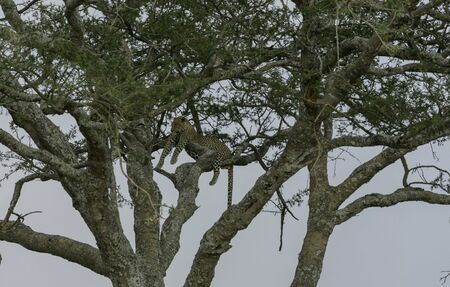 Male Leopard ( Panthera pardus ), high up in tree, lying across a branches, looking left, with head and eyes clearly visible. Tarangire National Park, Tanzania, Africa
