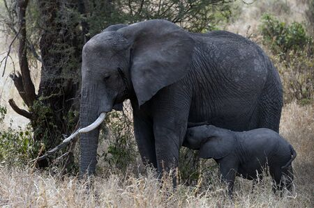 Baby elephant feeding from his mother in the shade of tree in dry African savanna.  Tanzania, Africa Stock Photo