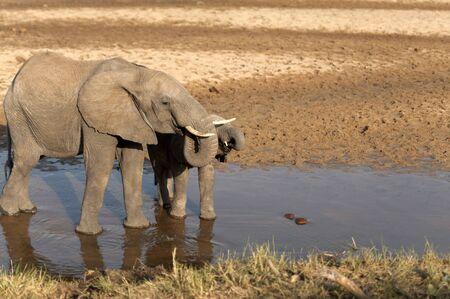 Two baby elephants standing in water drinking water, both with their trunks tucked into their mouths. Tarangire National Park. Tanzania, Africa