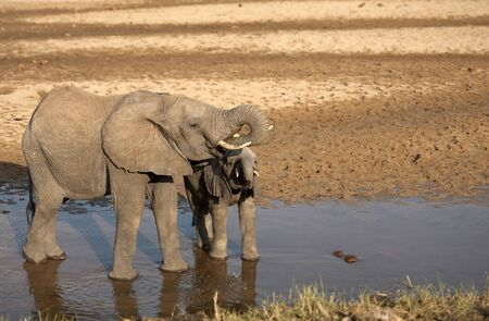 Two baby elephants standing in water, drinking water, one with tusk curled into mouth and water dripping from their mouths. Tarangire National Park, Tanzania, Africa