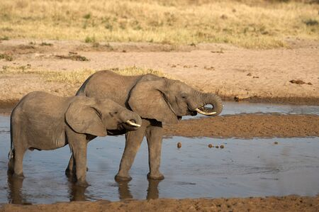 Two baby elephants standing in shallow water during sunset. Both drinking water, both with their tusks curled into mouths with wet gums. Tarangire National Park, Tanzania, Africa