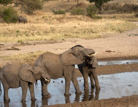 Two baby elephants standing in water and play fighting, one showing pink gums. Tarangire National Park, Tanzania, Africa