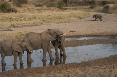 Two baby elephants standing in water and play fighting at sunset, with  trunks locked,and showing ivory tusks. Tarangire National Park, Tanzania, Africa